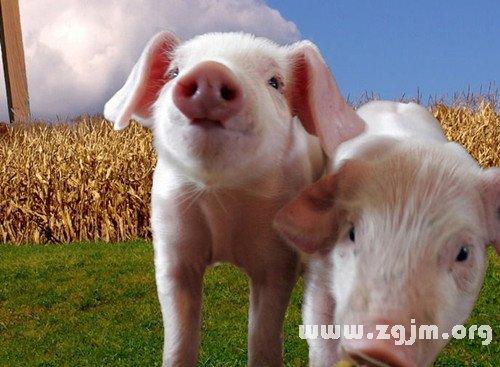 梦见骑猪跑_梦见骑猪跑是什么意思
