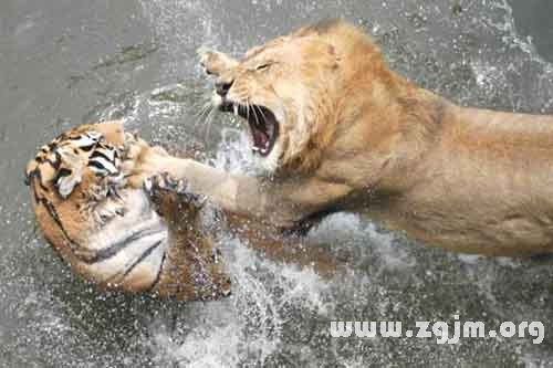 梦见老虎狮子打架